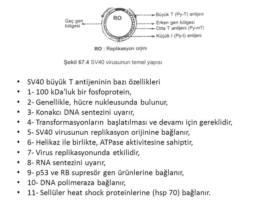 • SV40 büyük T antijeninin bazı özellikleri • 1- 100 kDa'luk bir fosfoprotein, • 2- Genellikle, hücre nukleusunda bulunur, • 3- Konakcı DNA sentezini