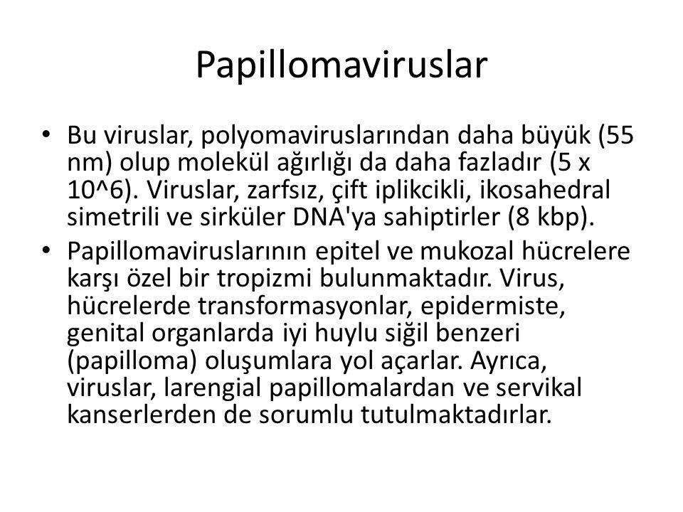 Papillomaviruslar • Bu viruslar, polyomaviruslarından daha büyük (55 nm) olup molekül ağırlığı da daha fazladır (5 x 10^6). Viruslar, zarfsız, çift ip