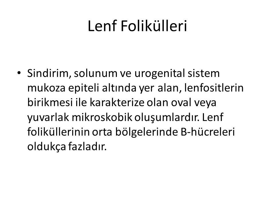 Lenf Folikülleri • Sindirim, solunum ve urogenital sistem mukoza epiteli altında yer alan, lenfositlerin birikmesi ile karakterize olan oval veya yuva