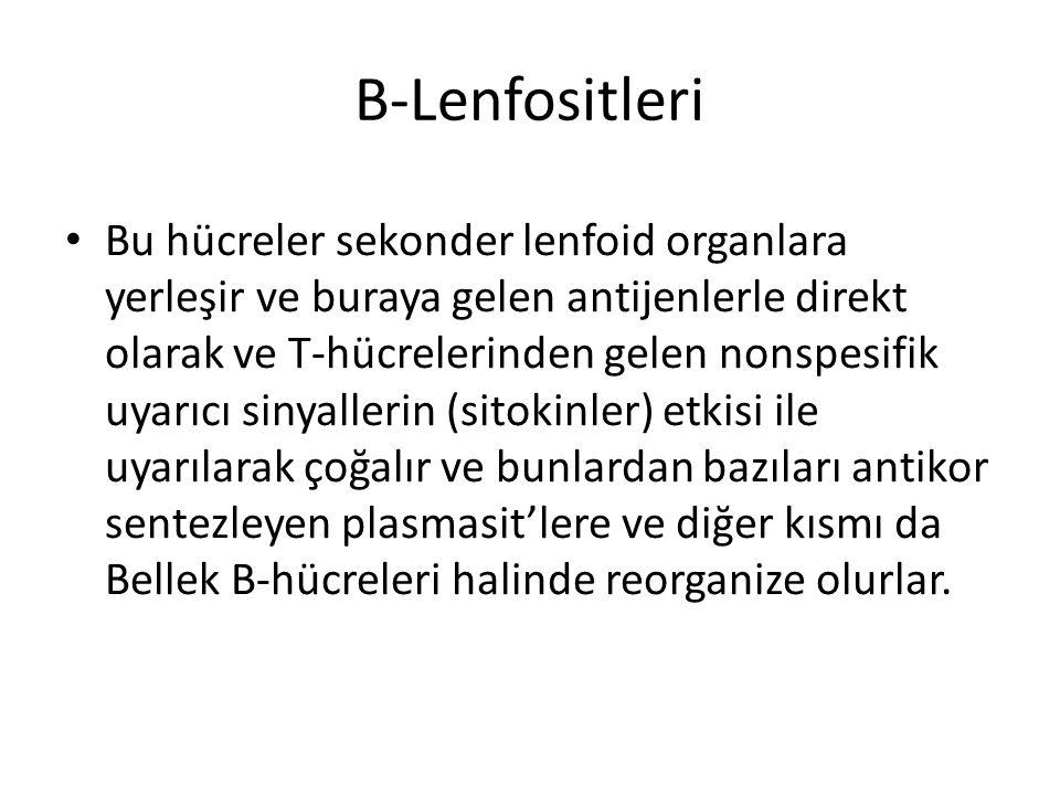 B-Lenfositleri • Bu hücreler sekonder lenfoid organlara yerleşir ve buraya gelen antijenlerle direkt olarak ve T-hücrelerinden gelen nonspesifik uyarı