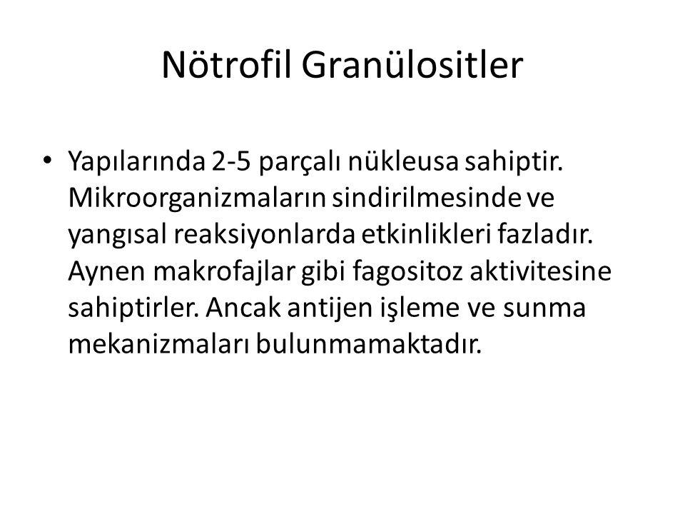 Nötrofil Granülositler • Yapılarında 2-5 parçalı nükleusa sahiptir. Mikroorganizmaların sindirilmesinde ve yangısal reaksiyonlarda etkinlikleri fazlad