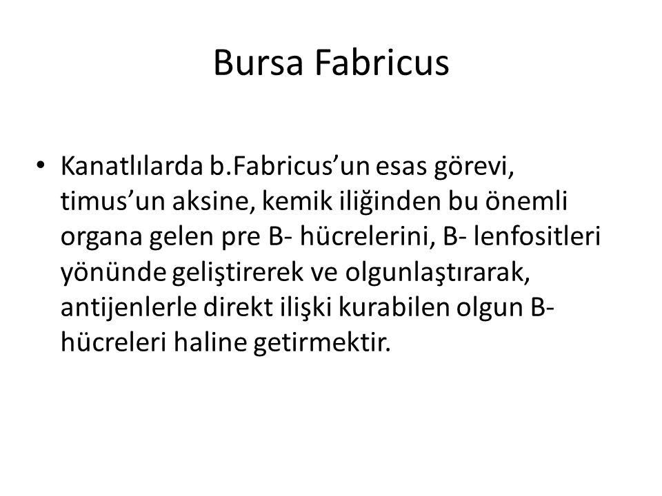 Bursa Fabricus • Kanatlılarda b.Fabricus'un esas görevi, timus'un aksine, kemik iliğinden bu önemli organa gelen pre B- hücrelerini, B- lenfositleri y