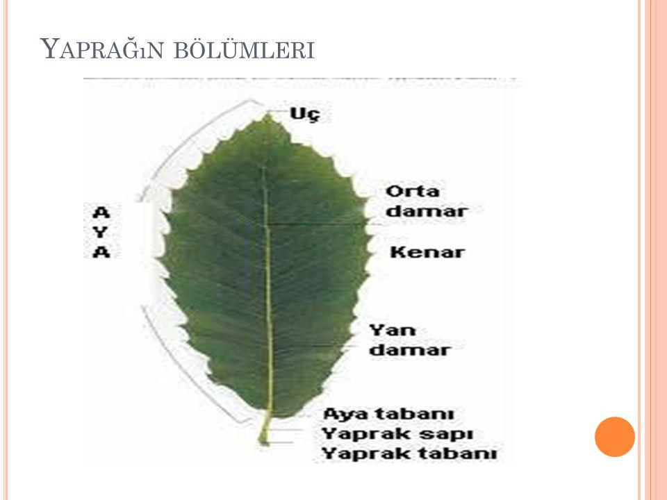 Ç IÇEK Tohumlu bitkilerin eşeysel üreme organlarına çiçek adı verilir.