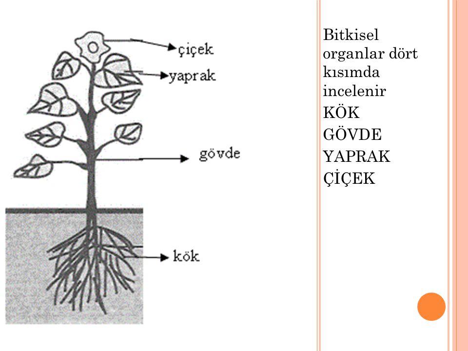 KÖK Bitkileri toprağa bağlayan ve topraktan su ve suda çözünmüş tuzları bitkiye sağlayan kısımlardır.