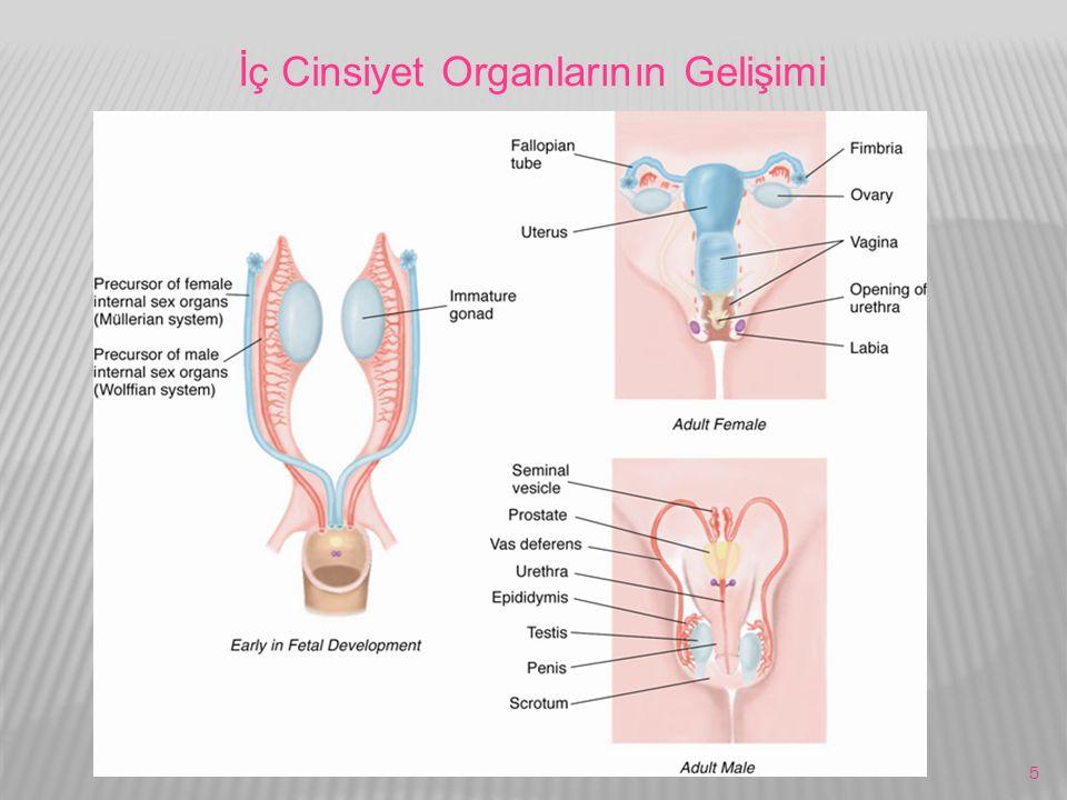 5 İç Cinsiyet Organlarının Gelişimi