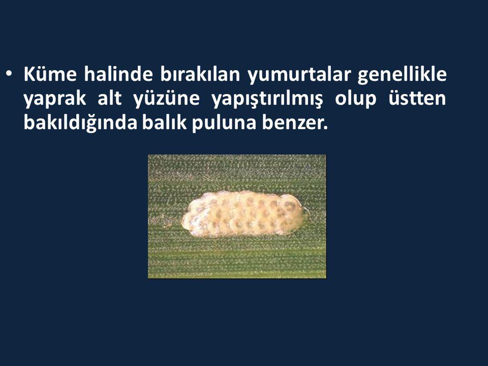 • Küme halinde bırakılan yumurtalar genellikle yaprak alt yüzüne yapıştırılmış olup üstten bakıldığında balık puluna benzer.