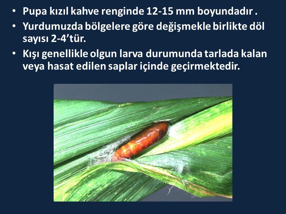 • Pupa kızıl kahve renginde 12-15 mm boyundadır. • Yurdumuzda bölgelere göre değişmekle birlikte döl sayısı 2-4'tür. • Kışı genellikle olgun larva dur