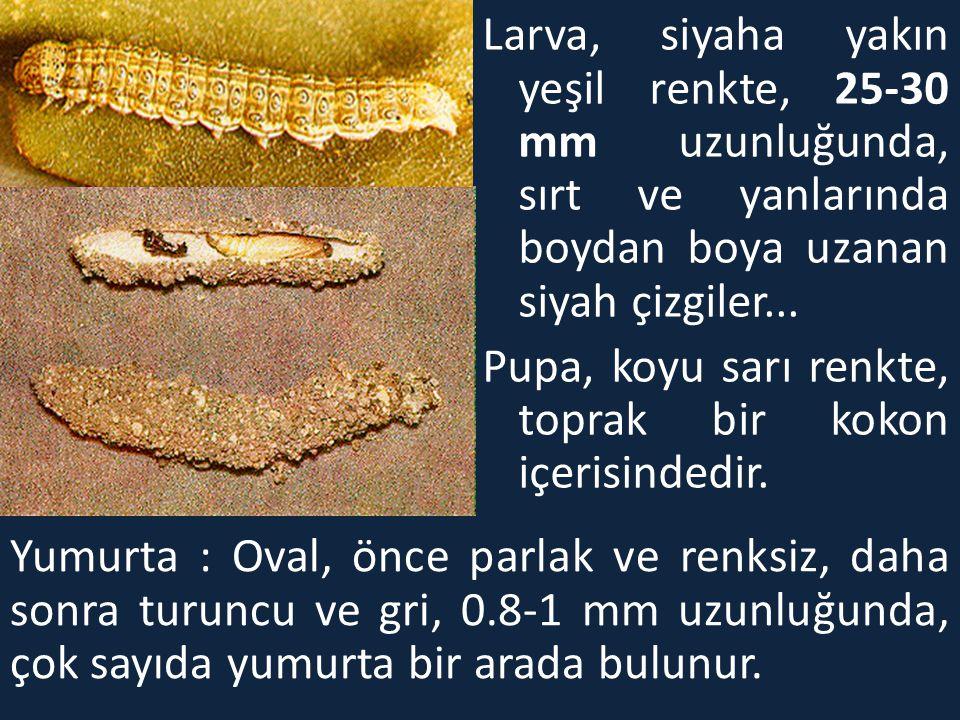 Larva, siyaha yakın yeşil renkte, 25-30 mm uzunluğunda, sırt ve yanlarında boydan boya uzanan siyah çizgiler... Pupa, koyu sarı renkte, toprak bir kok