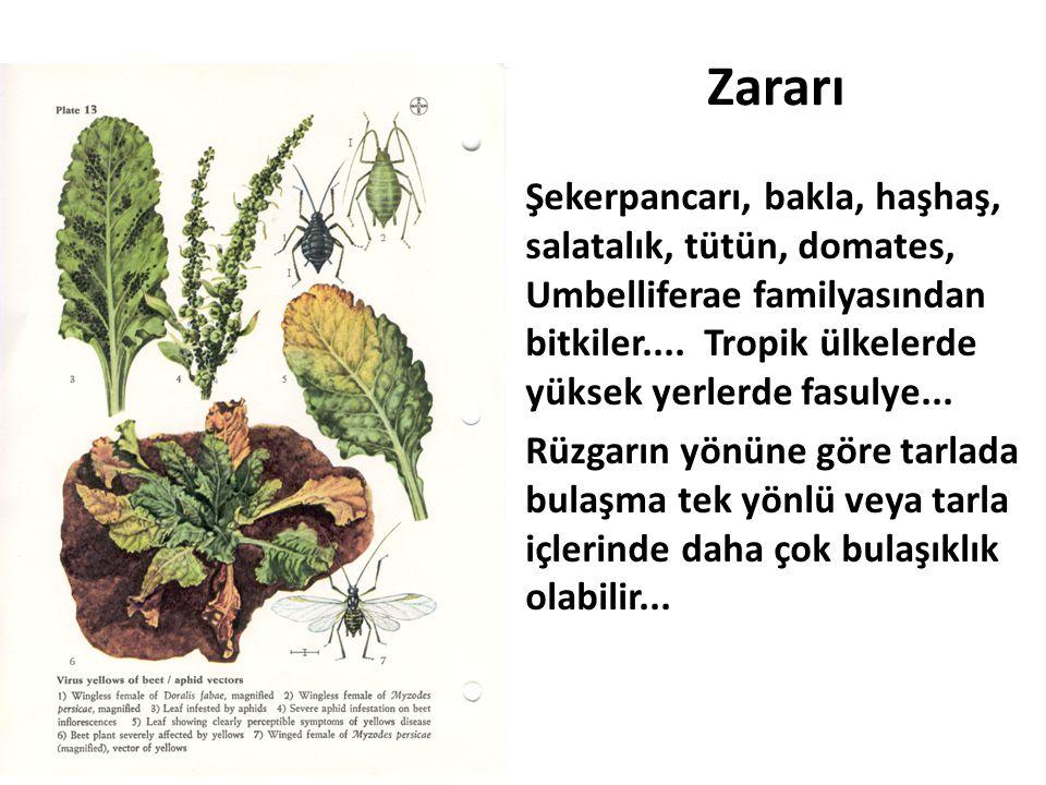 Zararı Şekerpancarı, bakla, haşhaş, salatalık, tütün, domates, Umbelliferae familyasından bitkiler.... Tropik ülkelerde yüksek yerlerde fasulye... Rüz