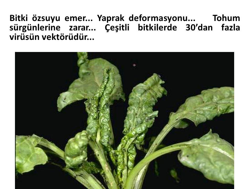 Bitki özsuyu emer... Yaprak deformasyonu... Tohum sürgünlerine zarar... Çeşitli bitkilerde 30'dan fazla virüsün vektörüdür...