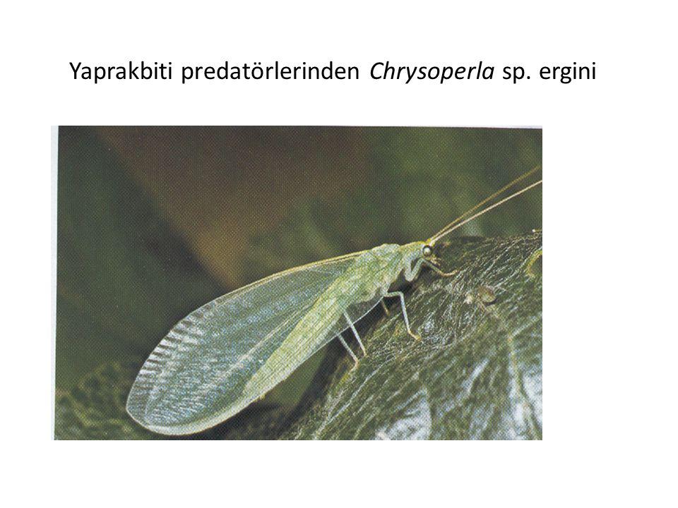 Yaprakbiti predatörlerinden Chrysoperla sp. ergini