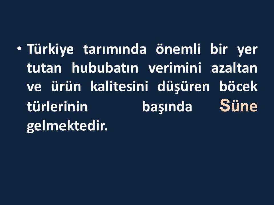 S üne • Türkiye tarımında önemli bir yer tutan hububatın verimini azaltan ve ürün kalitesini düşüren böcek türlerinin başında S üne gelmektedir.