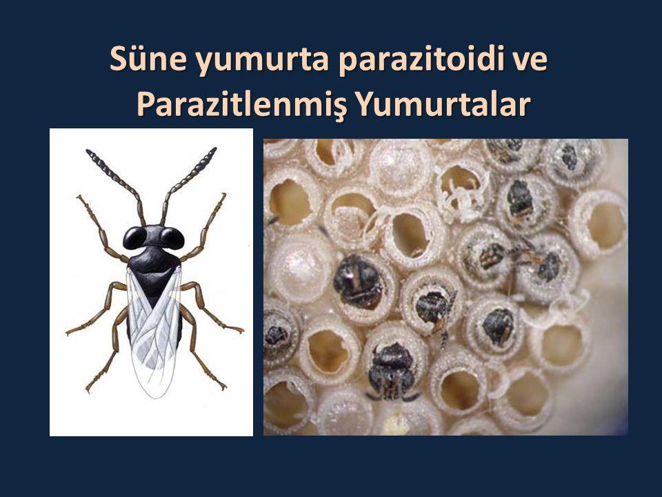 Süne yumurta parazitoidi ve Parazitlenmiş Yumurtalar Parazitlenmiş Yumurtalar