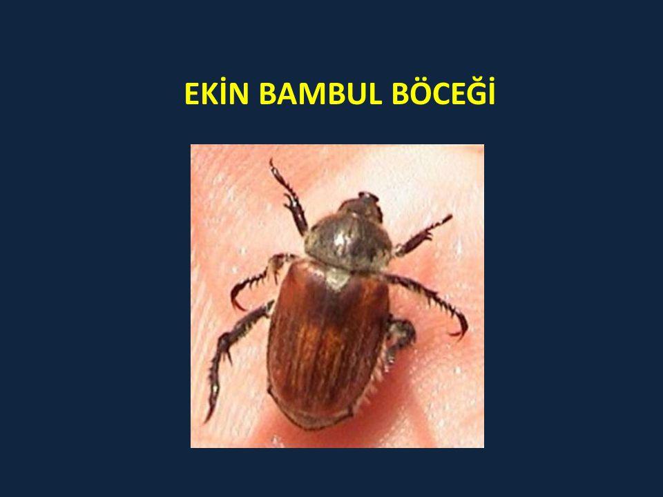 EKİN BAMBUL BÖCEĞİ