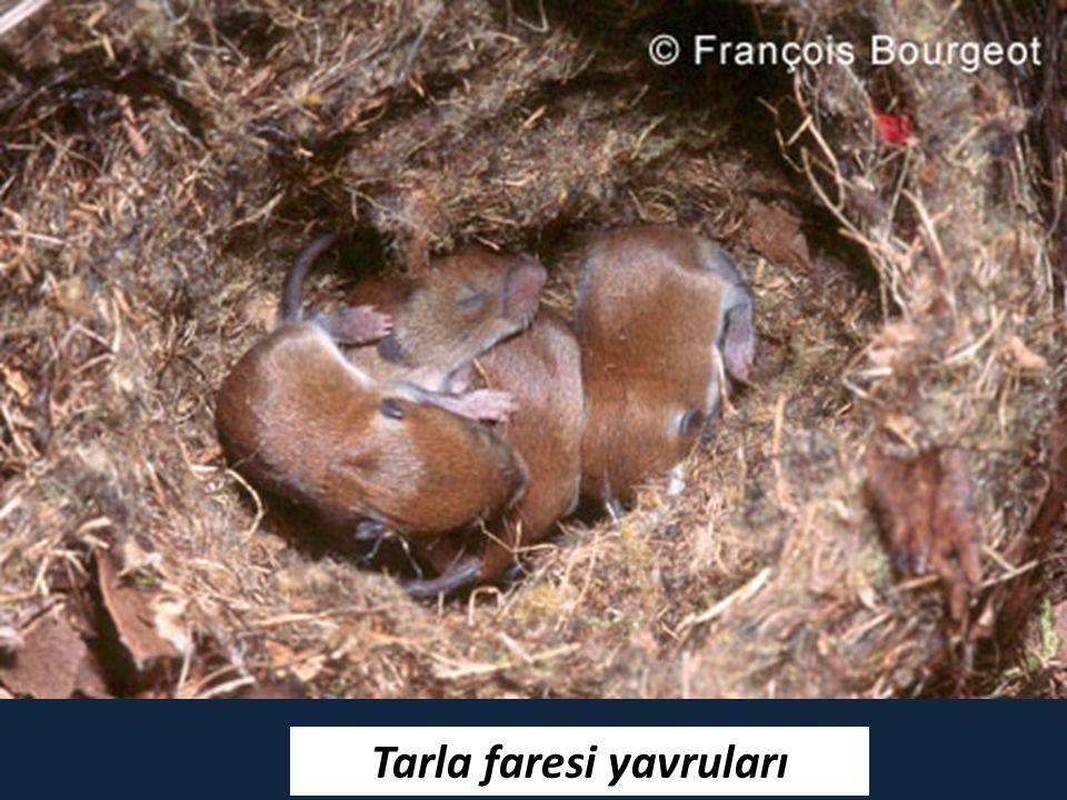 Tarla faresi yavruları