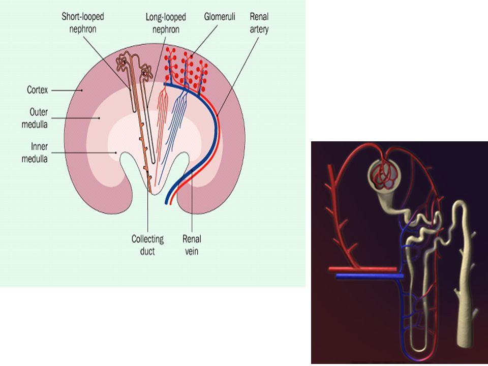 Böbreklerin endokrin işlevleri 1) PGA 2, PGE 2, PGF 2 oluşumu ile vazodilatasyon ve kan basıncını düşürücü etki.