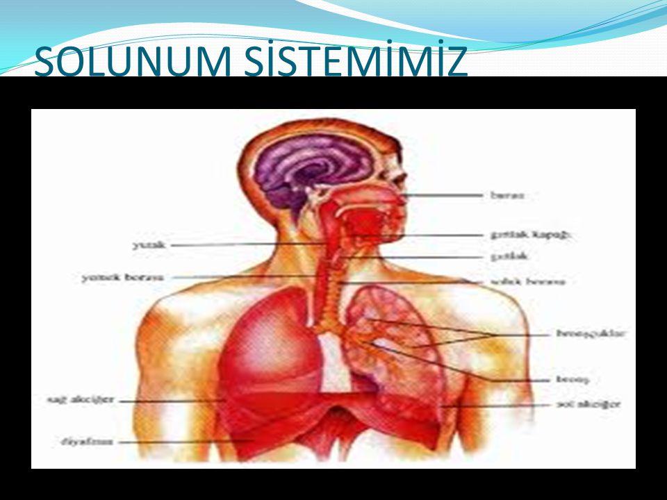 *SOLUK BORUSU  Soluk borusunun, düz olan arka yüzü yemek borusu ile komşudur ve iç yüzü hareketli siller taşıyan epitel hücreleri ile döşenmiştir.