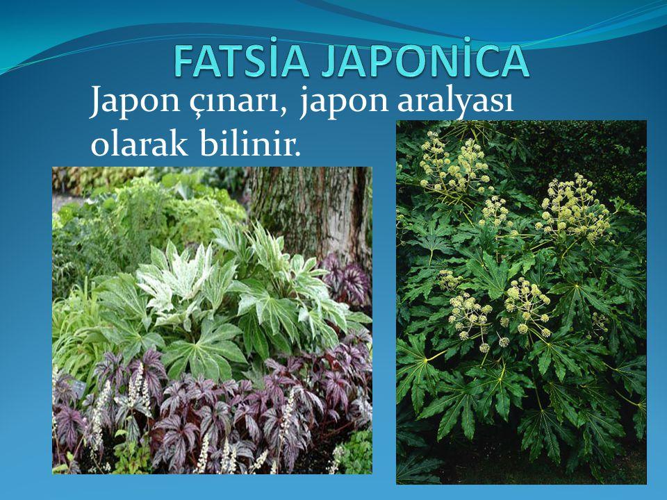 Japon çınarı, japon aralyası olarak bilinir.