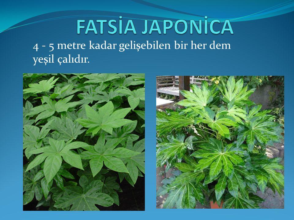 Yaprakları uzun saplı, 7-9 parçalı, kenarları hafif dişli, ince kahverengi ve hafif tüylüdür.