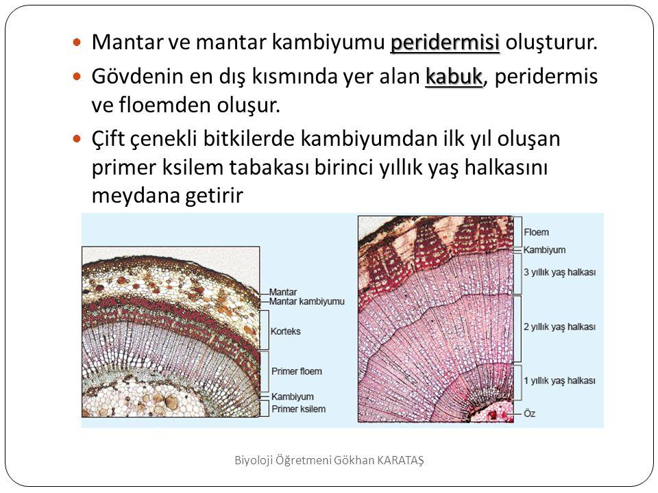 Bitkilerde Büyüme Halkaları  Sekonder ksilem büyüme (yaş) halkaları  Sekonder ksilem odun olarak adlandırılır.