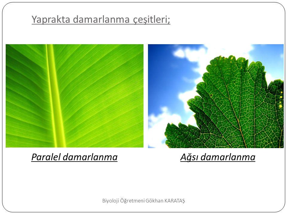 Yaprak Çeşitleri basit yaprak  Yaprak, tek yaprak ayasından oluşuyorsa basit yaprak adını alır.