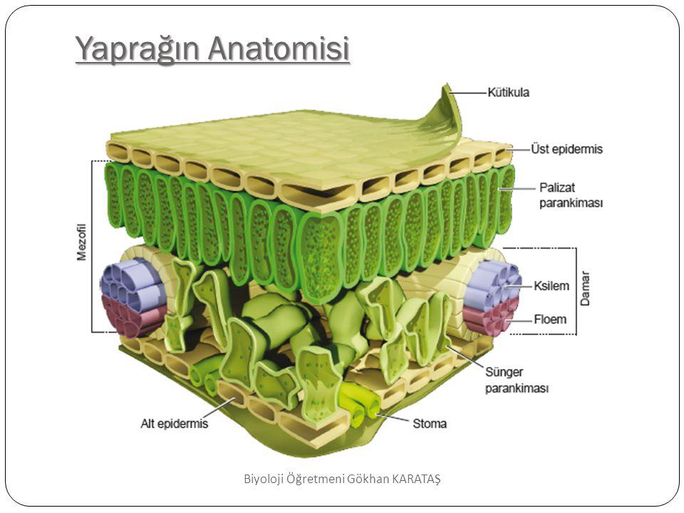 Yaprağın Anatomisi Biyoloji Öğretmeni Gökhan KARATAŞ