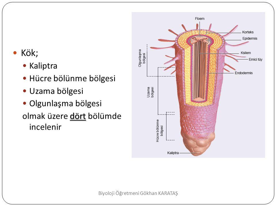 Kaliptra konik şekilli yapıdır bir madde salgılar  Kökün uç kısmını örten konik şekilli yapıdır.