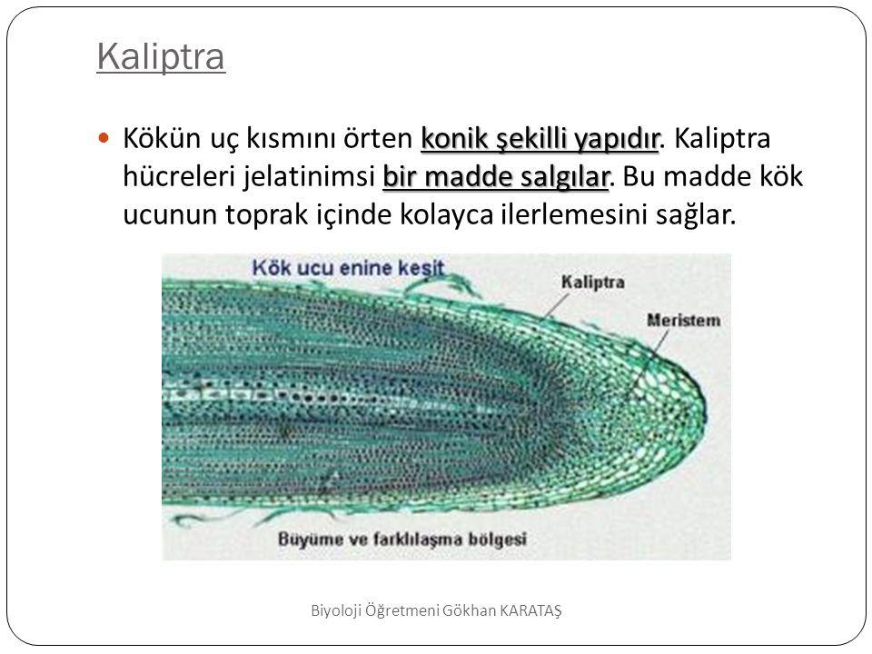 Hücre bölünme bölgesi  Kök ucunun merkezinde bulunan uç meristem hücrelerinden oluşmuştur.