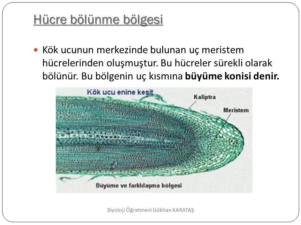 Uzama Bölgesi  Uzama bölgesindeki uç meristem tarafından oluşturulan hücreler hızla dikey yönde büyür.