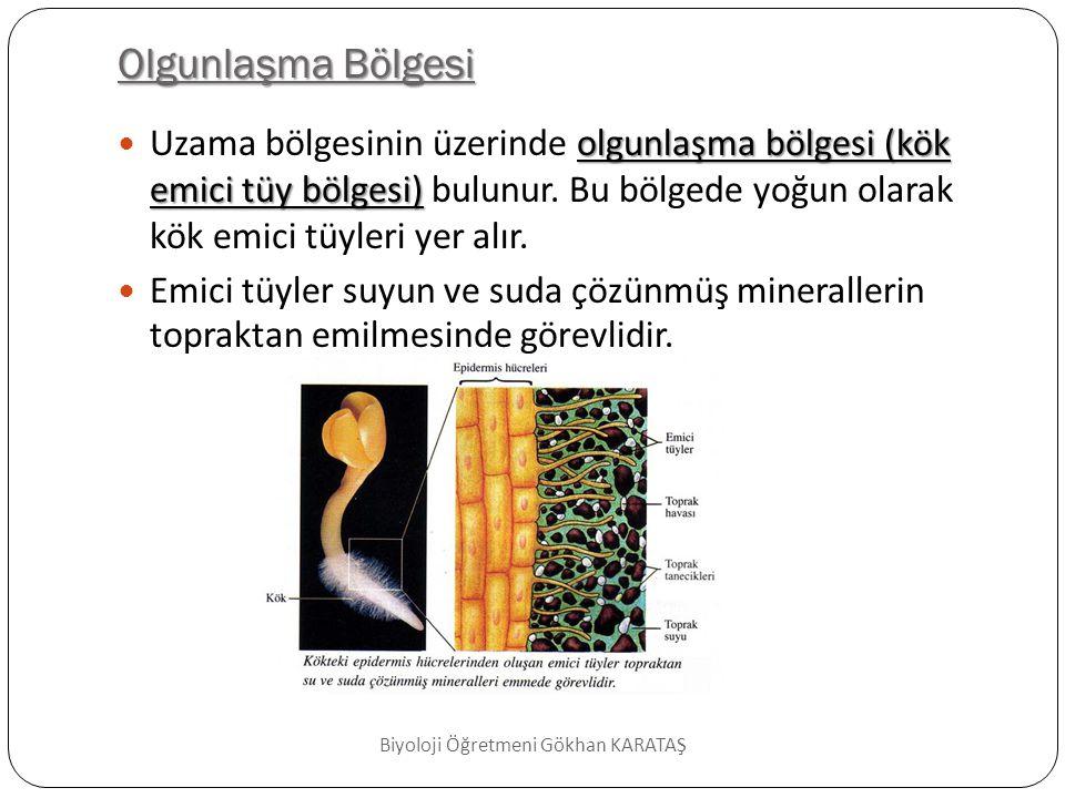 Tek Çenekli Bitkilerde Kök; epidermis  En dışta epidermis tabakası bulunur.