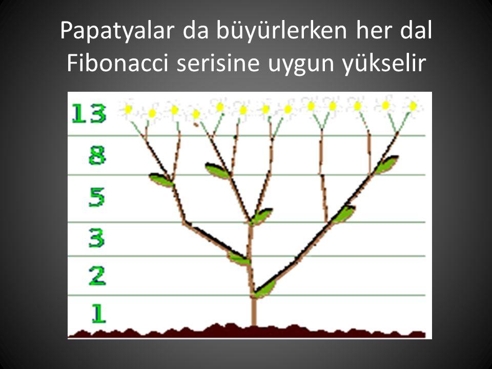 Papatyalar da büyürlerken her dal Fibonacci serisine uygun yükselir