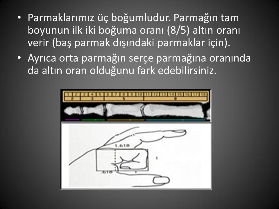 • Parmaklarımız üç boğumludur. Parmağın tam boyunun ilk iki boğuma oranı (8/5) altın oranı verir (baş parmak dışındaki parmaklar için). • Ayrıca orta