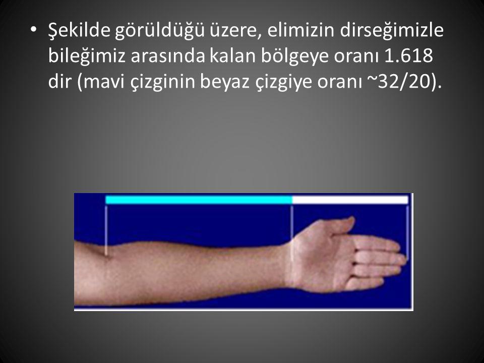 • Şekilde görüldüğü üzere, elimizin dirseğimizle bileğimiz arasında kalan bölgeye oranı 1.618 dir (mavi çizginin beyaz çizgiye oranı ~32/20).