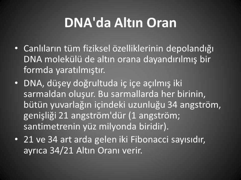 DNA'da Altın Oran • Canlıların tüm fiziksel özelliklerinin depolandığı DNA molekülü de altın orana dayandırılmış bir formda yaratılmıştır. • DNA, düşe