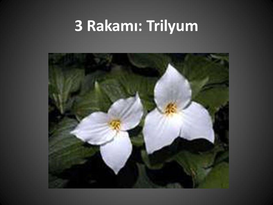 5 Rakamı: Beş Yaprak (yüzlerce türü vardır)