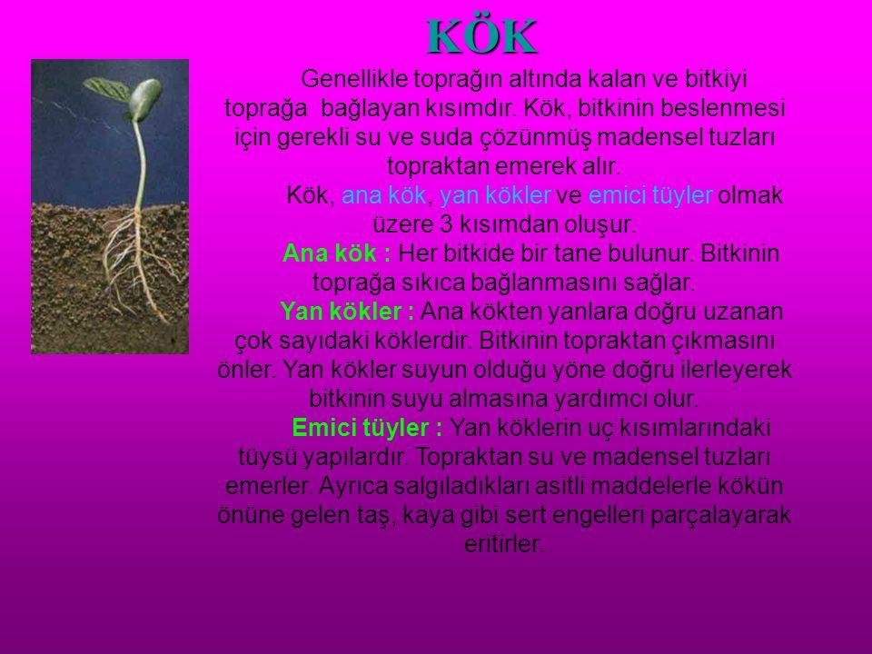 KÖK Genellikle toprağın altında kalan ve bitkiyi toprağa bağlayan kısımdır. Kök, bitkinin beslenmesi için gerekli su ve suda çözünmüş madensel tuzları