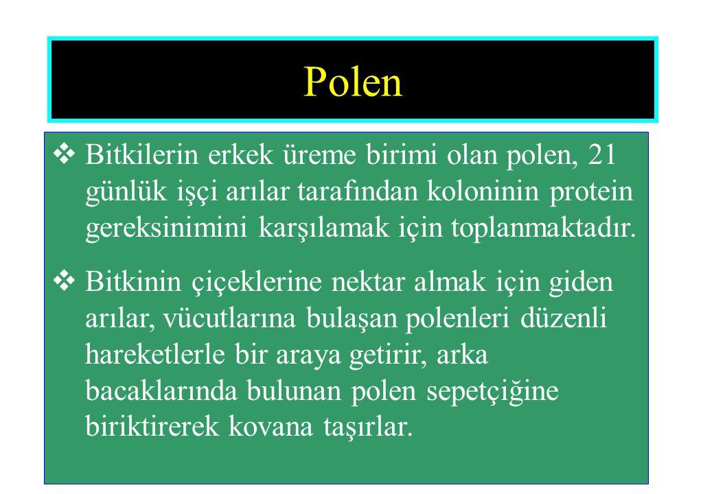 Polen  Bitkilerin erkek üreme birimi olan polen, 21 günlük işçi arılar tarafından koloninin protein gereksinimini karşılamak için toplanmaktadır.  B