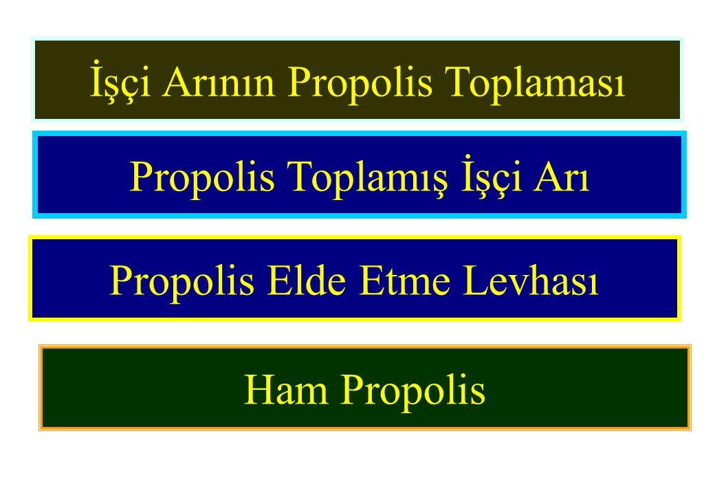 İşçi Arının Propolis Toplaması Propolis Toplamış İşçi Arı Propolis Elde Etme Levhası Ham Propolis
