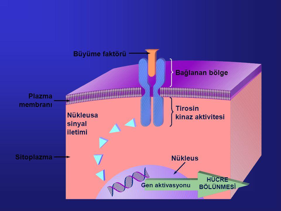 Nükleusa sinyal iletimi Nükleus Bağlanan bölge Tirosin kinaz aktivitesi Sitoplazma Plazma membranı Büyüme faktörü Gen aktivasyonu HÜCRE BÖLÜNMESİ