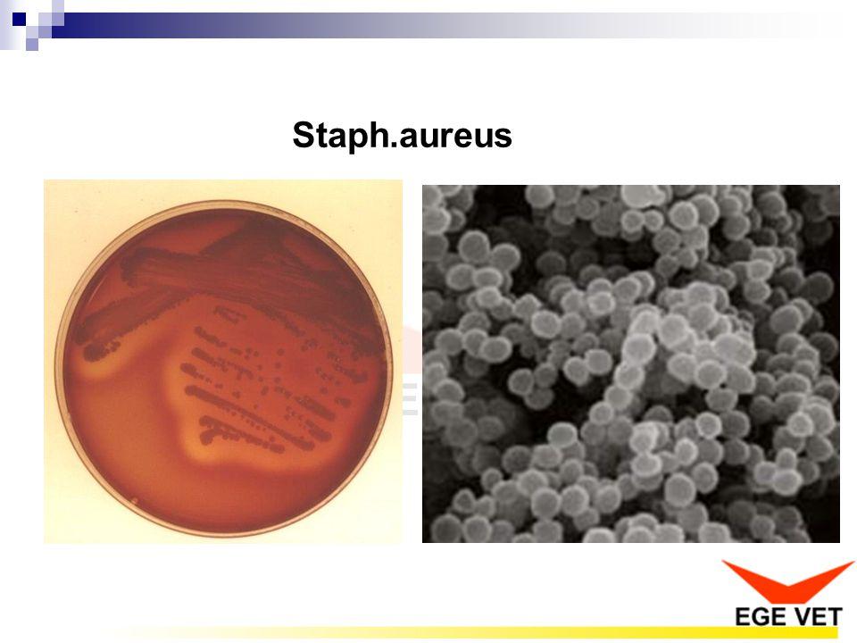 Staph.aureus