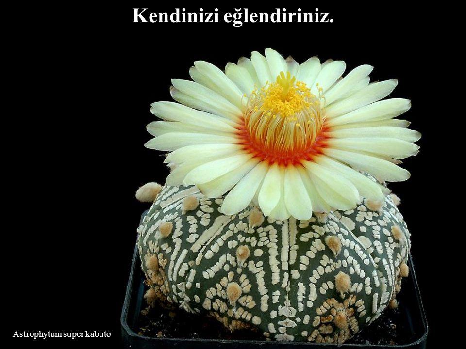 Mammillaria slevinii İnsanların sizi düşünmeleri pek önemli değil.Bu sizin probleminiz olamaz.