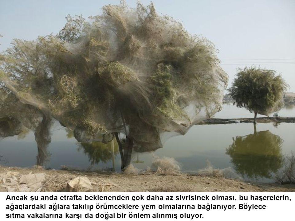 Ancak şu anda etrafta beklenenden çok daha az sivrisinek olması, bu haşerelerin, ağaçlardaki ağlara takılıp örümceklere yem olmalarına bağlanıyor.