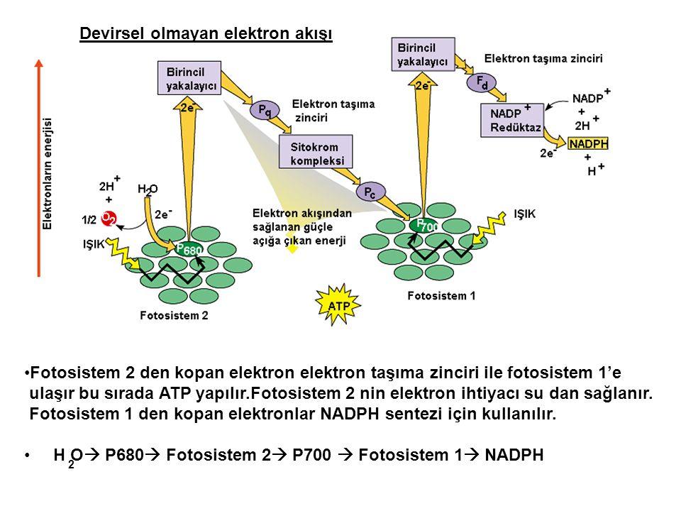 Devirsel olmayan elektron akışı •Fotosistem 2 den kopan elektron elektron taşıma zinciri ile fotosistem 1'e ulaşır bu sırada ATP yapılır.Fotosistem 2