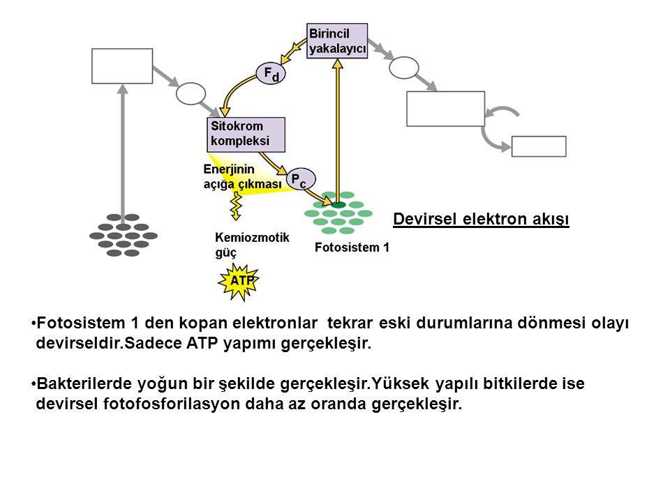 Devirsel elektron akışı •Fotosistem 1 den kopan elektronlar tekrar eski durumlarına dönmesi olayı devirseldir.Sadece ATP yapımı gerçekleşir. •Bakteril