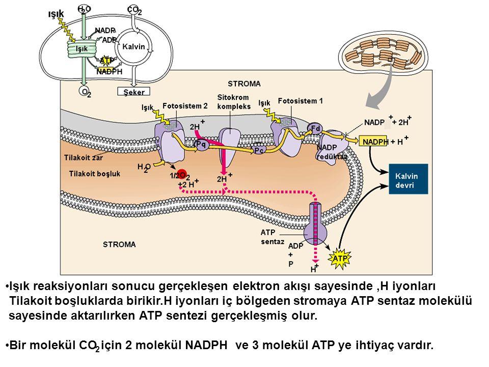 •Işık reaksiyonları sonucu gerçekleşen elektron akışı sayesinde,H iyonları Tilakoit boşluklarda birikir.H iyonları iç bölgeden stromaya ATP sentaz mol