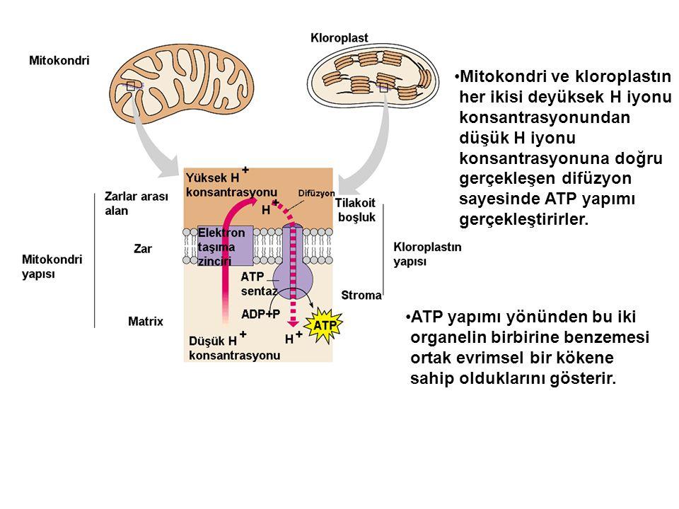•Mitokondri ve kloroplastın her ikisi deyüksek H iyonu konsantrasyonundan düşük H iyonu konsantrasyonuna doğru gerçekleşen difüzyon sayesinde ATP yapı