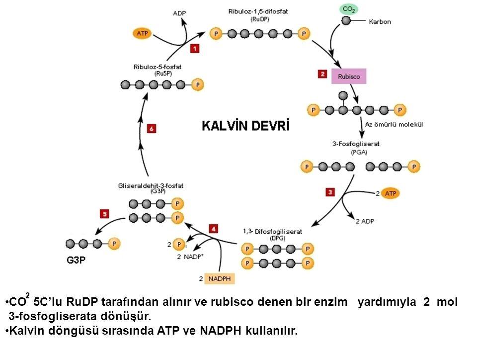 •CO 5C'lu RuDP tarafından alınır ve rubisco denen bir enzim yardımıyla 2 mol 3-fosfogliserata dönüşür. •Kalvin döngüsü sırasında ATP ve NADPH kullanıl