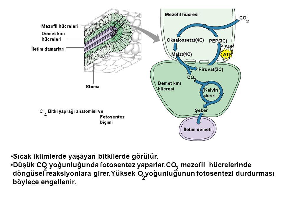 •Sıcak iklimlerde yaşayan bitkilerde görülür. •Düşük CO yoğunluğunda fotosentez yaparlar.CO mezofil hücrelerinde döngüsel reaksiyonlara girer.Yüksek O