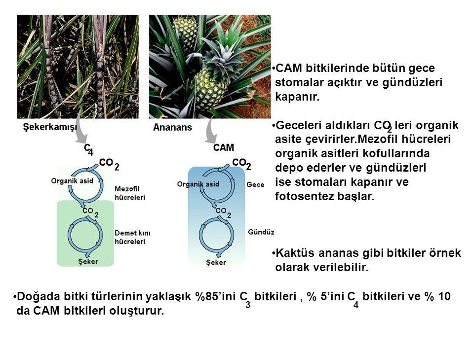 •CAM bitkilerinde bütün gece stomalar açıktır ve gündüzleri kapanır. •Geceleri aldıkları CO leri organik asite çevirirler.Mezofil hücreleri organik as