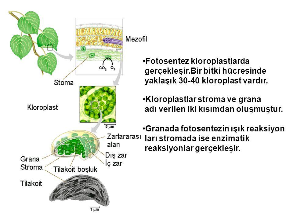 •Fotosentez kloroplastlarda gerçekleşir.Bir bitki hücresinde yaklaşık 30-40 kloroplast vardır. •Kloroplastlar stroma ve grana adı verilen iki kısımdan